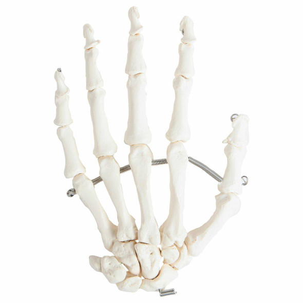 Axis Scientific Articulated Hand Skeleton