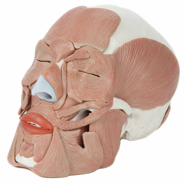 Axis Scientific Life-Size Human Skull with Removable Muscles Anatomy Model Front Left View
