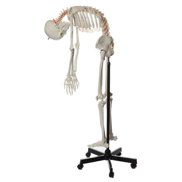 Axis Scientific Flexible Life-Size Human Skeleton Anatomy Model with Study Booklet and Numbering Guide Left View with bending motion 1