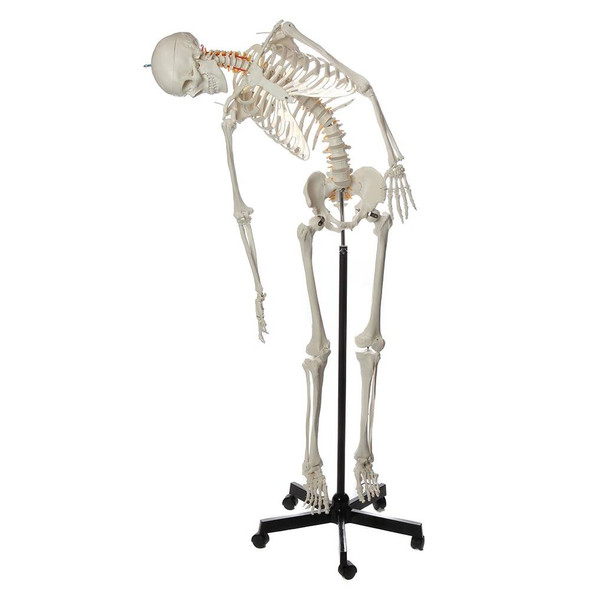 Axis Scientific Flexible Life-Size Human Skeleton Anatomy Model with Study Booklet and Numbering Guide Front View with tilted motion to the right