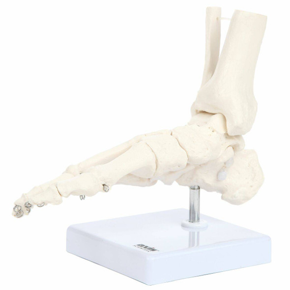 Axis Scientific Foot Skeleton With Ankle 1