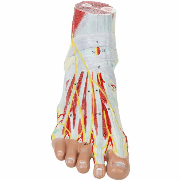 Axis Scientific 9 Part Foot with Muscles, Ligaments, Nerves and Arteries