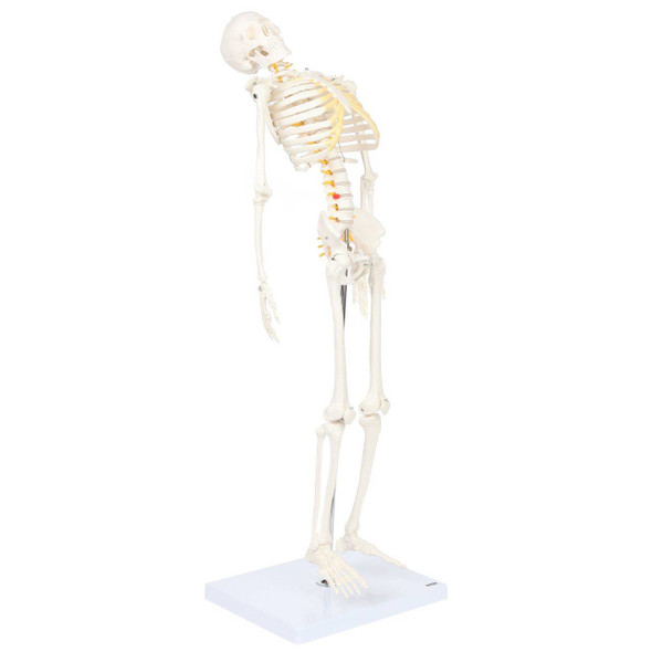 Axis Scientific Miniature Skeleton with Flexible Spine