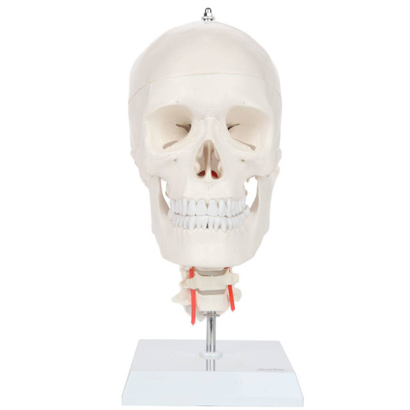 Axis Scientific Human Skull Model with Flexible Neck