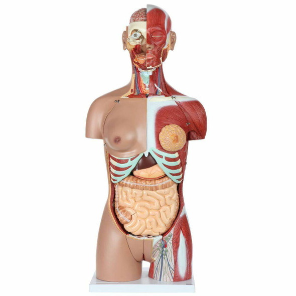Axis Scientific Dual Sex Muscled Human Torso Model