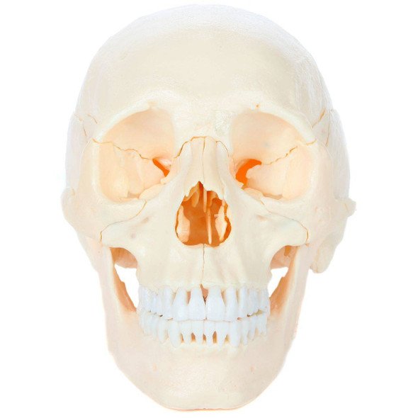 Axis Scientific 22 Part Osteopathic Natural Bone Human Skull