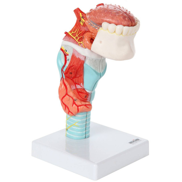 Axis Scientific 5-Part Larynx and Tongue Model 1
