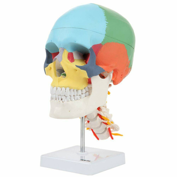 Axis Scientific Didactic Skull on Cervical Vertebrae with Nerves and Arteries 1