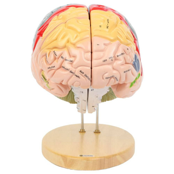 Axis Scientific 1.5 Times Life-Size Deluxe 4-Part Brain 1