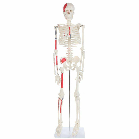 Anatomy Lab Essential Painted Mini Skeleton