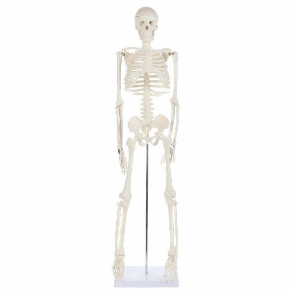 Anatomy Lab Essential Mini Skeleton