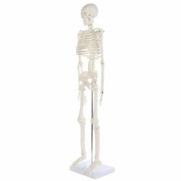 Anatomy Lab Essential Mini Skeleton 1