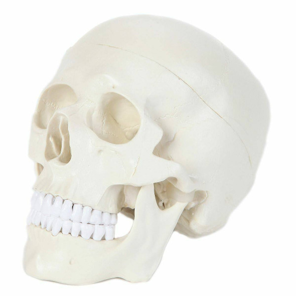 Anatomy Lab Essential Life-Size Skull 1