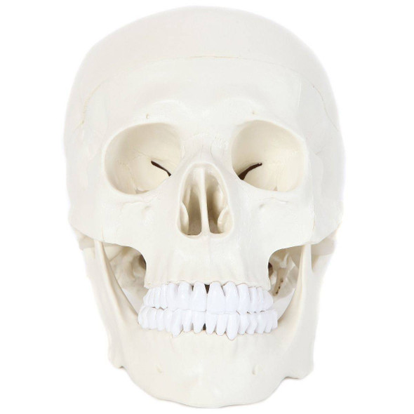 Anatomy Lab Essential Life-Size Skull