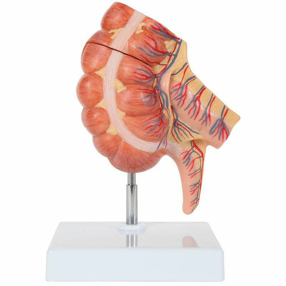 Axis Scientific Caecum and Appendix, Enlarged 1.5 Times Life Size
