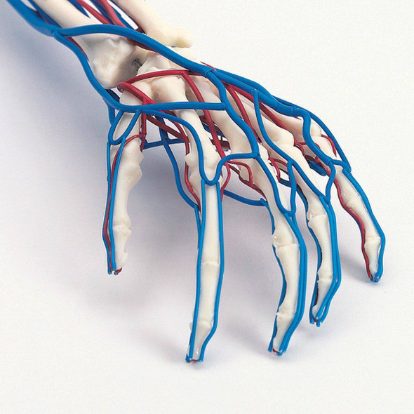 Vascular Arm Anatomy Model Life Size 1