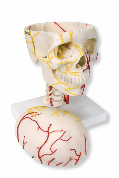 Neurovascular Skull Anatomy Model