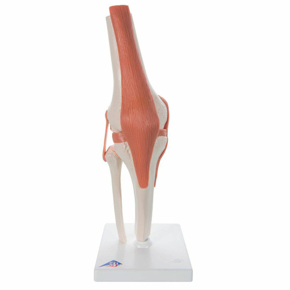 Functional Knee Joint Anatomy Model