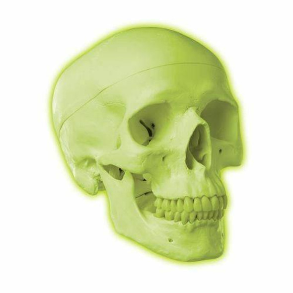 Neon Human Skull Anatomy Model