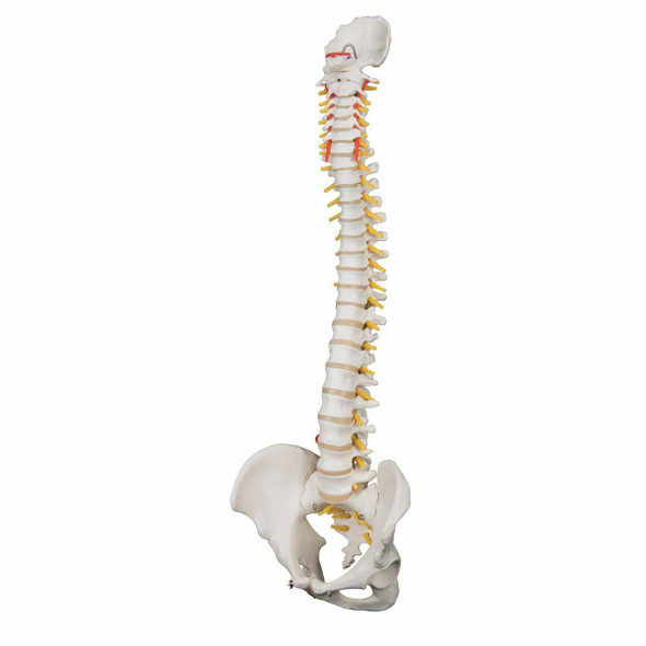 Highly Flexible Human Spine 1