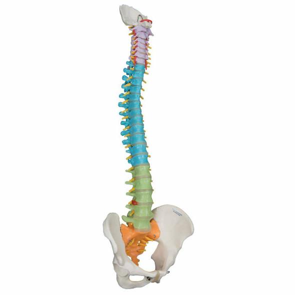 Didactic Flexible Spine Anatomy Model 1