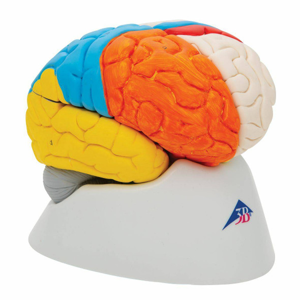 Neuro-Anatomical Brain Model 1
