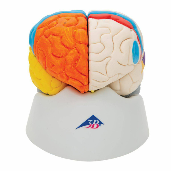 Neuro-Anatomical Brain Model