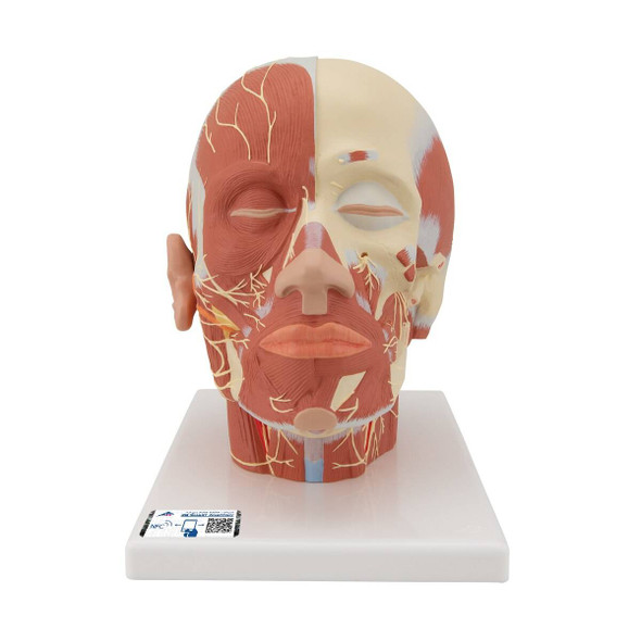 Head and Neck Musculature Anatomy Model With Nerves