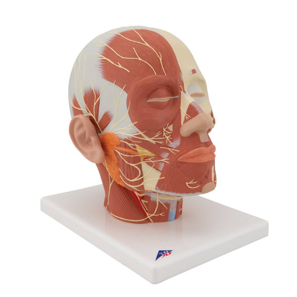Head and Neck Musculature Anatomy Model With Nerves 1