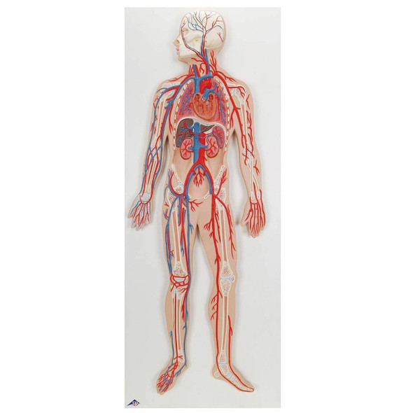 Half Life-Size Human Circulatory System Anatomy Model