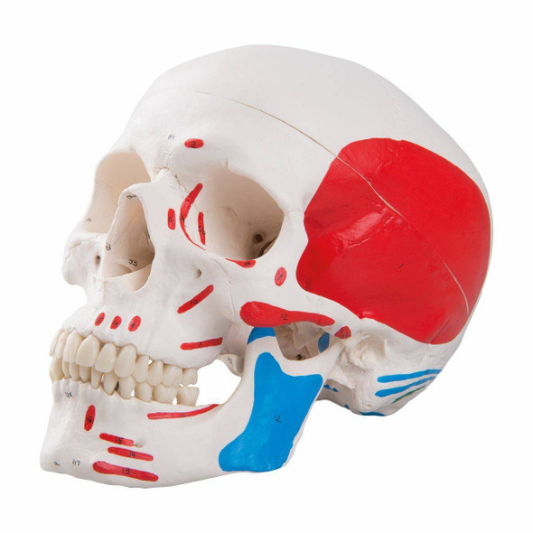 Painted Classic Human Skull Anatomy Model 1