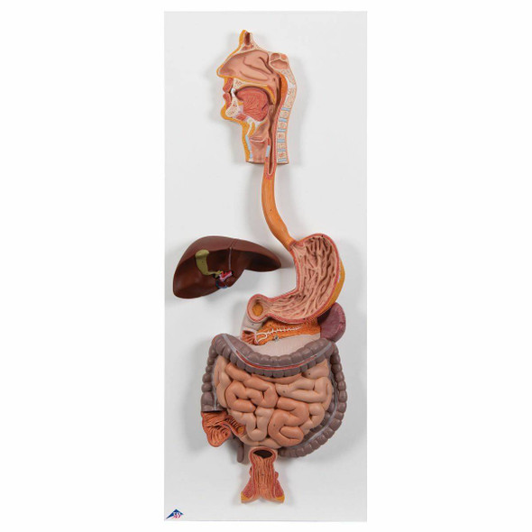 Life-Size Digestive System Anatomy Model 2 Parts