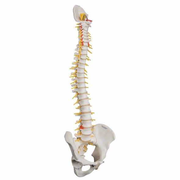 Deluxe Flexible Human Spine Anatomy Model 1