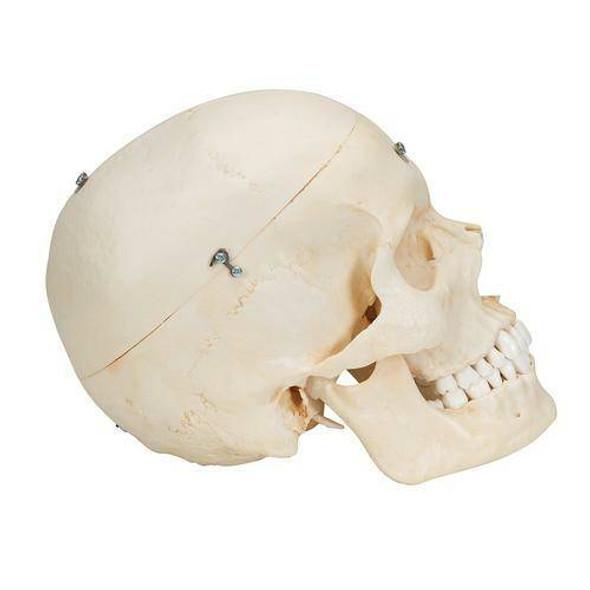 BONElike Human Bony Skull Anatomy Model 6 Parts 1