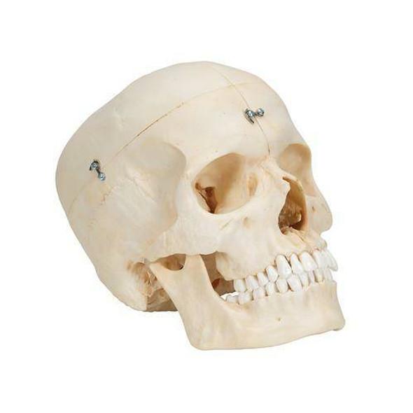BONElike Human Bony Skull Anatomy Model 6 Parts