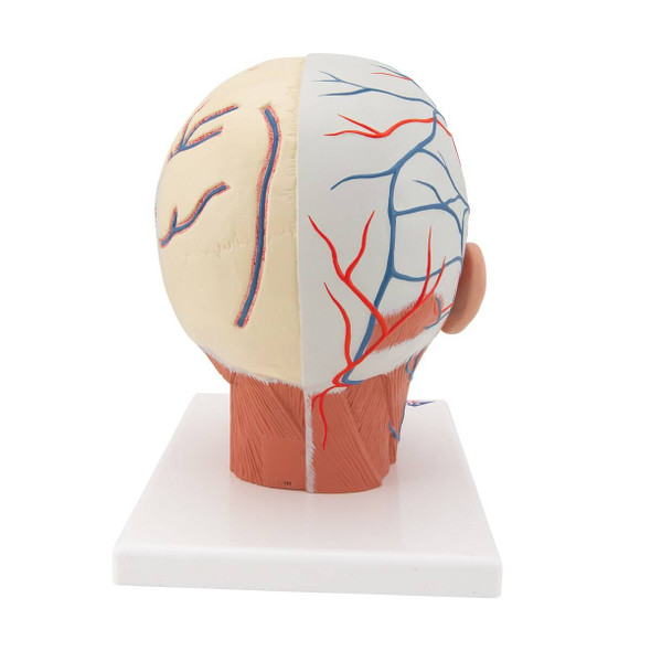 Head and Neck Musculature with Blood Vessels Anatomy Model 1