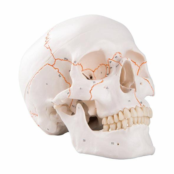 Numbered Classic Human Skull Anatomy Model
