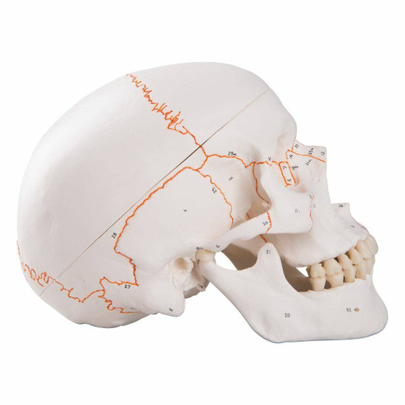 Numbered Classic Human Skull Anatomy Model 1