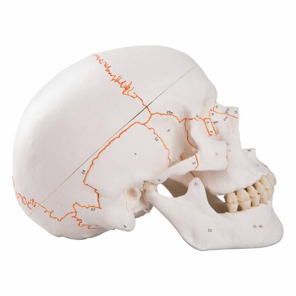Numbered Classic Human Skull Anatomy Model 1