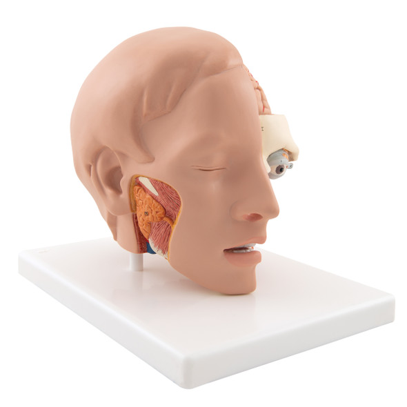 Life-Size Human Head Anatomy Model (6 Parts) side view of face and jaw 1