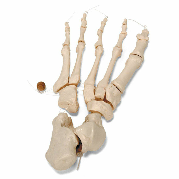 Disarticulated Half Human Skeleton Anatomy Model With Loosely Articulated Hand and Foot 1