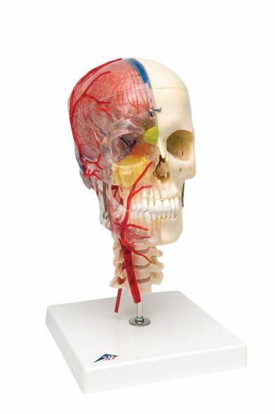 Bonelike Human Skull Anatomy Model