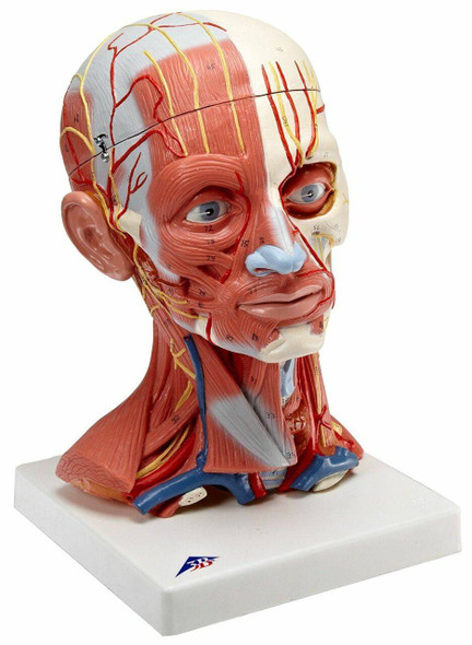 Human Head and Neck Musculature Anatomy Model 1