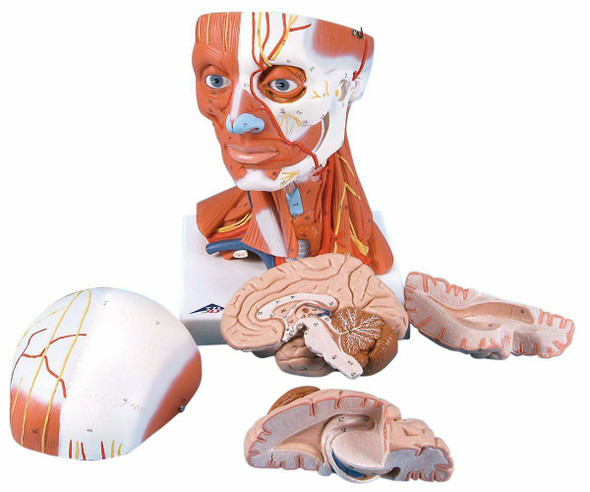 Human Head and Neck Musculature Anatomy Model