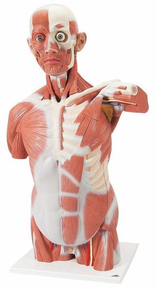 Life-Size Muscle Torso Anatomy Model 27 Parts