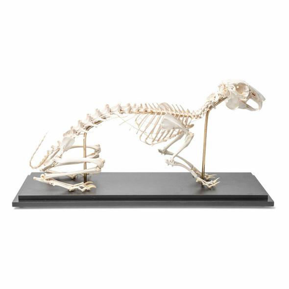 Rabbit Skeleton Natural Specimen Anatomy Model, Articulated 1