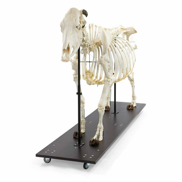 Cow Skeleton Anatomy Model On Wood Base 1