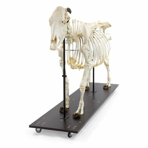 Cow Skeleton Anatomy Model On Wood Base 1