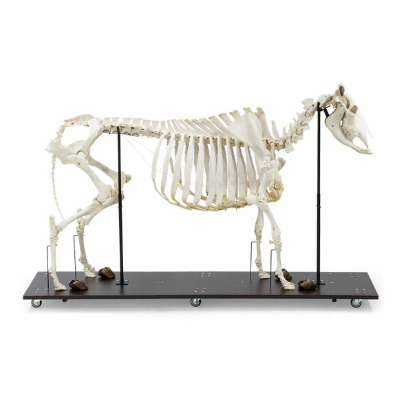 Cow Skeleton Anatomy Model On Wood Base