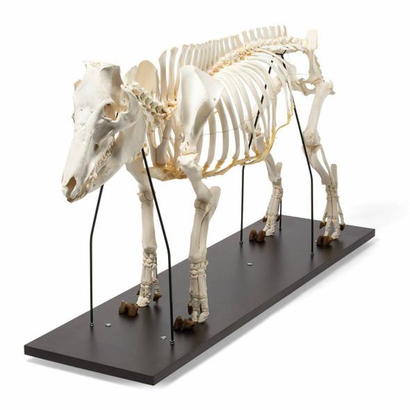 Pig Skeleton Anatomy Model On Wood Base 1